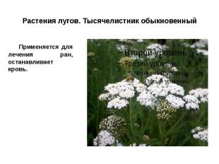 Растения лугов. Тысячелистник обыкновенный Применяется для лечения ран, останавл
