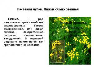 Растения лугов. Пижма обыкновенная ПИЖМА – род многолетних трав семейства сложно