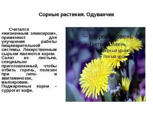 Сорные растения. Одуванчик Считался «жизненным эликсиром», применяют для улучшен