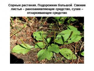 Сорные растения. Подорожник большой. Свежие листья – ранозаживляющее средство, с