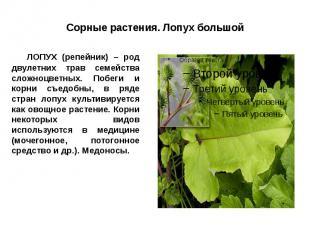 Сорные растения. Лопух большой ЛОПУХ (репейник) – род двулетних трав семейства с