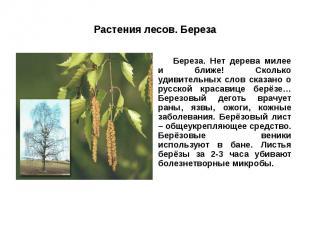 Растения лесов. Береза Береза. Нет дерева милее и ближе! Сколько удивительных сл