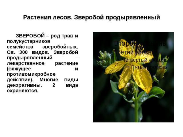 Растения лесов. Зверобой продырявленный ЗВЕРОБОЙ – род трав и полукустарников семейства зверобойных. Св. 300 видов. Зверобой продырявленный – лекарственное растение (вяжущее и противомикробное действие). Многие виды декоративны. 2 вида охраняются.