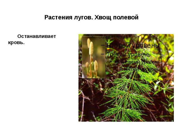 Растения лугов. Хвощ полевой Останавливает кровь.