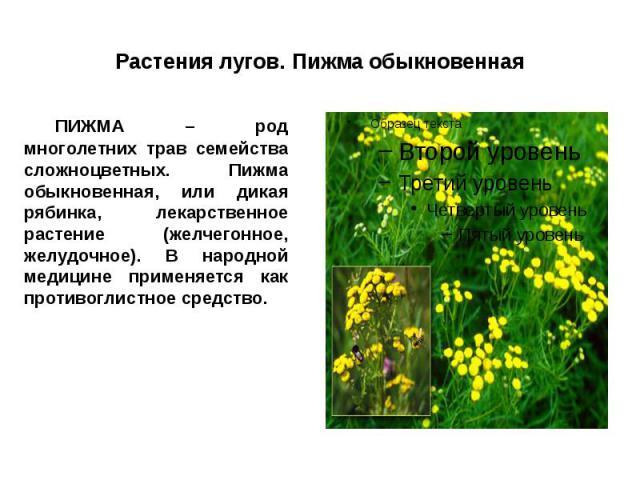 Растения лугов. Пижма обыкновенная ПИЖМА – род многолетних трав семейства сложноцветных. Пижма обыкновенная, или дикая рябинка, лекарственное растение (желчегонное, желудочное). В народной медицине применяется как противоглистное средство.