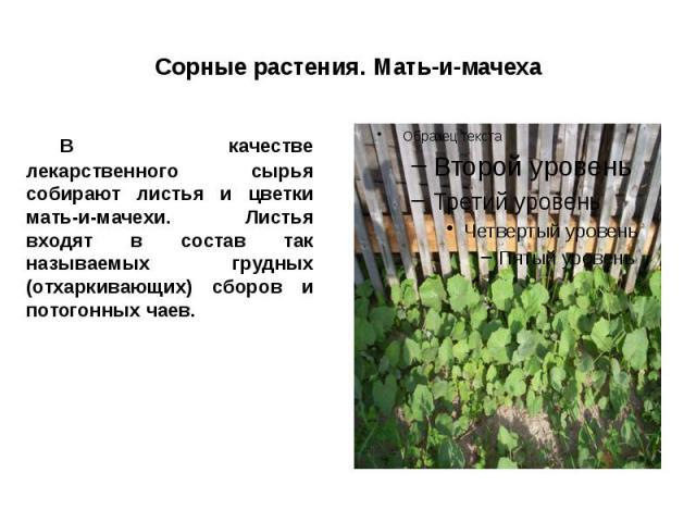 Сорные растения. Мать-и-мачеха В качестве лекарственного сырья собирают листья и цветки мать-и-мачехи. Листья входят в состав так называемых грудных (отхаркивающих) сборов и потогонных чаев.
