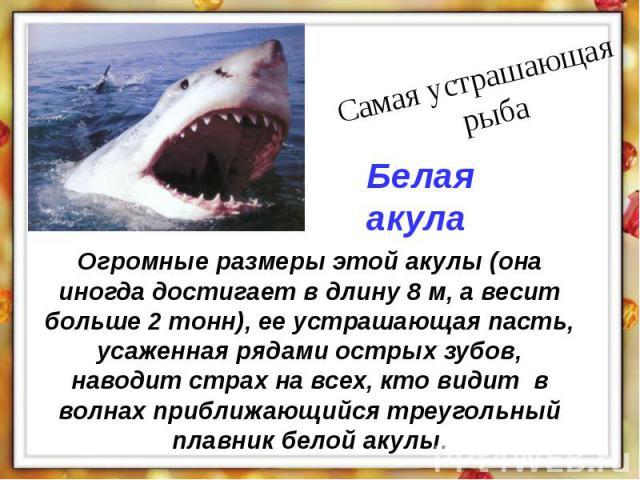 Огромные размеры этой акулы (она иногда достигает в длину 8 м, а весит больше 2 тонн), ее устрашающая пасть, усаженная рядами острых зубов, наводит страх на всех, кто видит в волнах приближающийся треугольный плавник белой акулы.