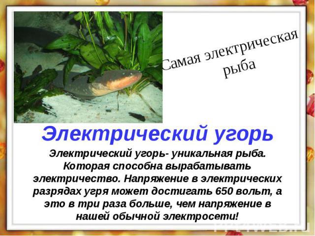 Электрический угорь- уникальная рыба. Которая способна вырабатывать электричество. Напряжение в электрических разрядах угря может достигать 650 вольт, а это в три раза больше, чем напряжение в нашей обычной электросети!