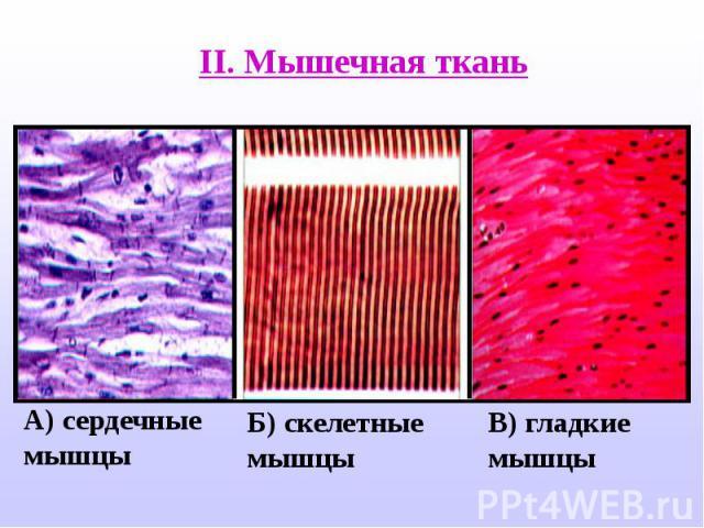 II. Мышечная ткань