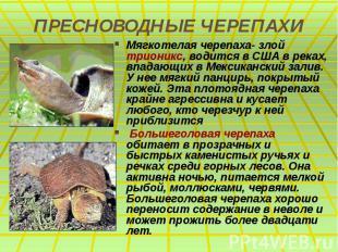 ПРЕСНОВОДНЫЕ ЧЕРЕПАХИ Мягкотелая черепаха- злой трионикс, водится в США в реках,