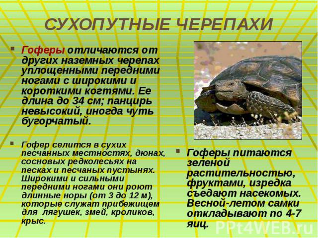 СУХОПУТНЫЕ ЧЕРЕПАХИ Гоферы отличаются от других наземных черепах уплощенными передними ногами с широкими и короткими когтями. Ее длина до 34 см; панцирь невысокий, иногда чуть бугорчатый. Гофер селится в сухих песчанных местностях, дюнах, сосновых р…
