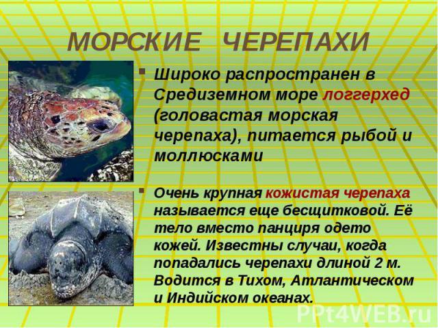 МОРСКИЕ ЧЕРЕПАХИ Широко распространен в Средиземном море логгерхед (головастая морская черепаха), питается рыбой и моллюсками Очень крупная кожистая черепаха называется еще бесщитковой. Её тело вместо панциря одето кожей. Известны случаи, когда попа…