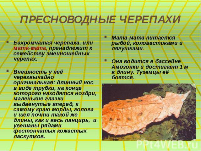 ПРЕСНОВОДНЫЕ ЧЕРЕПАХИ Бахромчатая черепаха, или мата-мата, пренадлежит к семейству змеиношейных черепах. Внешность у неё черезвычайно оригинальная: длинный нос в виде трубки, на конце которого находятся ноздри, маленькие глазки выдвенутые вперед, к …