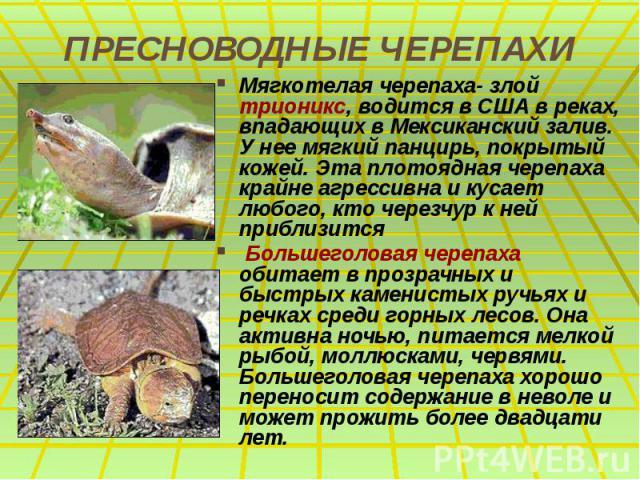 ПРЕСНОВОДНЫЕ ЧЕРЕПАХИ Мягкотелая черепаха- злой трионикс, водится в США в реках, впадающих в Мексиканский залив. У нее мягкий панцирь, покрытый кожей. Эта плотоядная черепаха крайне агрессивна и кусает любого, кто черезчур к ней приблизится Большего…
