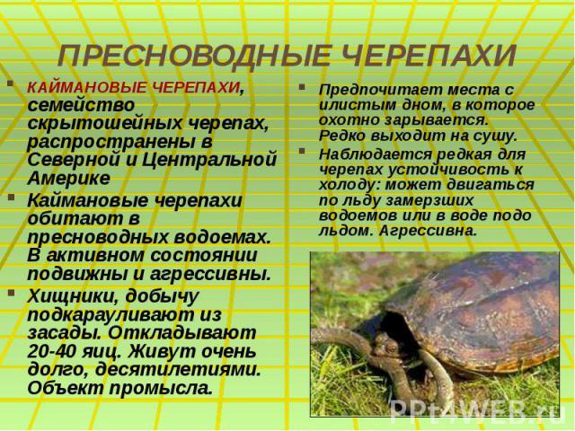 ПРЕСНОВОДНЫЕ ЧЕРЕПАХИ КАЙМАНОВЫЕ ЧЕРЕПАХИ, семейство скрытошейных черепах, распространены в Северной и Центральной Америке Каймановые черепахи обитают в пресноводных водоемах. В активном состоянии подвижны и агрессивны. Хищники, добычу подкарауливаю…