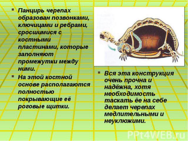 Панцирь черепах образован позвонками, ключицами и ребрами, сросшимися с костными пластинами, которые заполняют промежутки между ними. Панцирь черепах образован позвонками, ключицами и ребрами, сросшимися с костными пластинами, которые заполняют пром…