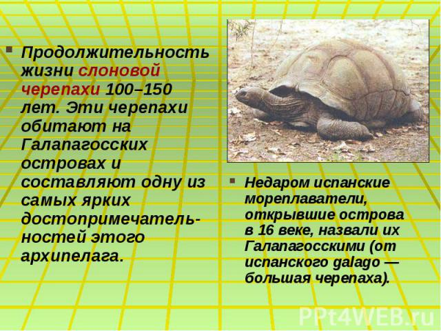 Продолжительность жизни слоновой черепахи 100–150 лет. Эти черепахи обитают на Галапагосских островах и составляют одну из самых ярких достопримечатель-ностей этого архипелага. Продолжительность жизни слоновой черепахи 100–150 лет. Эти черепахи обит…