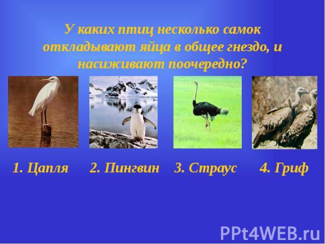 У каких птиц несколько самок откладывают яйца в общее гнездо, и насиживают поочередно?