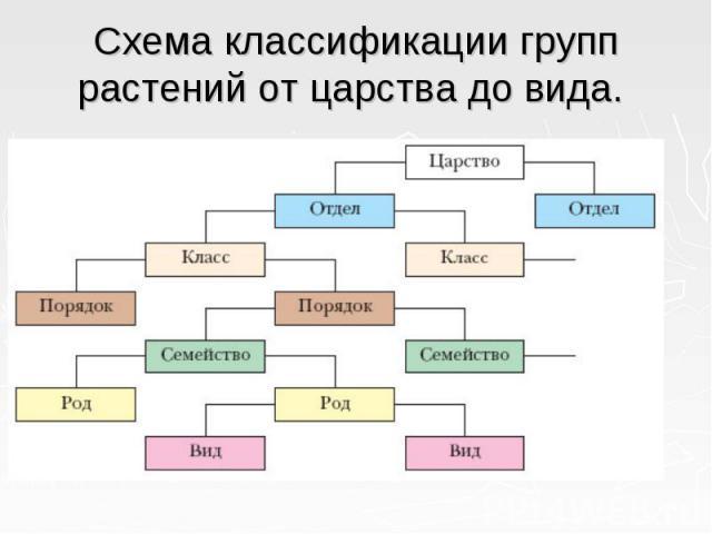 Схема классификации групп растений от царства до вида.