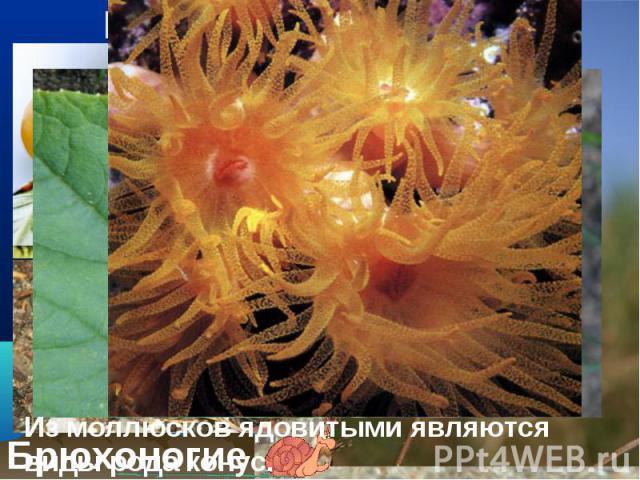 Мягкое тело, которое у многих из них защищено раковиной. Мягкое тело, которое у многих из них защищено раковиной.