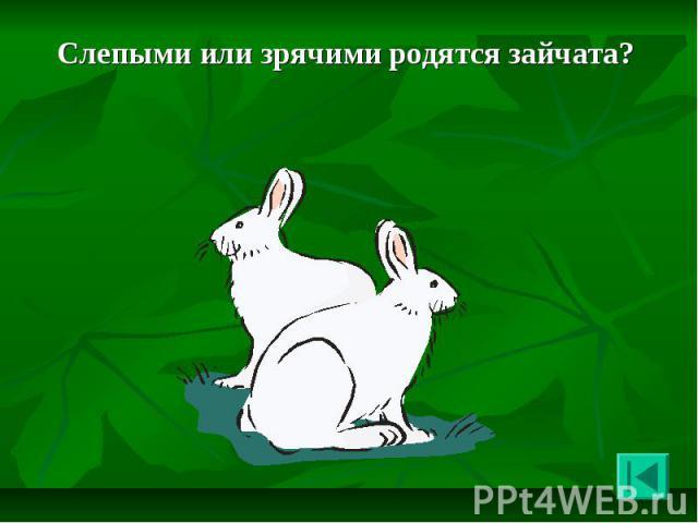 Слепыми или зрячими родятся зайчата? Слепыми или зрячими родятся зайчата?