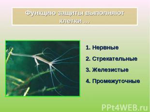 1. Нервные 1. Нервные 2. Стрекательные 3. Железистые 4. Промежуточные