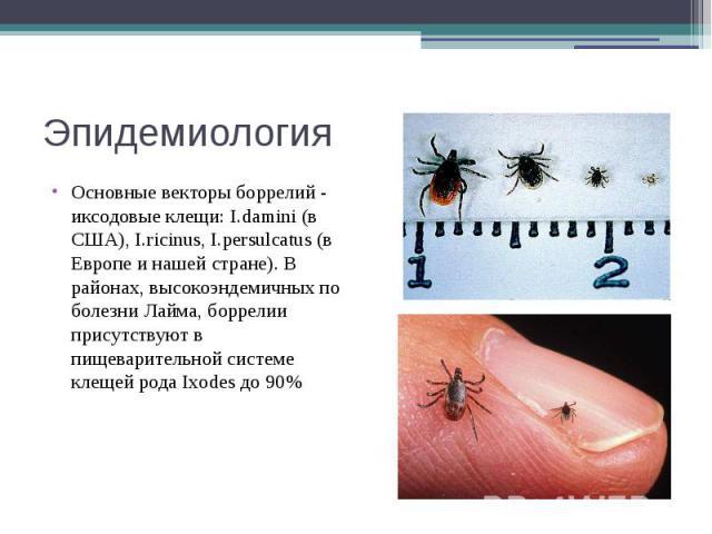 Эпидемиология Основные векторы боррелий - иксодовые клещи: I.damini (в США), I.ricinus, I.persulcatus (в Европе и нашей стране). В районах, высокоэндемичных по болезни Лайма, боррелии присутствуют в пищеварительной системе клещей рода Ixodes до 90%
