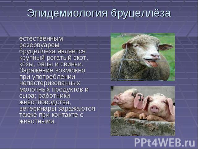 Эпидемиология бруцеллёза естественным резервуаром бруцеллеза является крупный рогатый скот, козы, овцы и свиньи. Заражение возможно при употреблении непастеризованных молочных продуктов и сыра; работники животноводства, ветеринары заражаются также п…