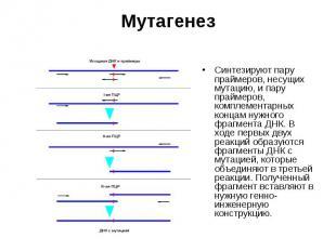 Cинтезируют пару праймеров, несущих мутацию, и пару праймеров, комплементарных к