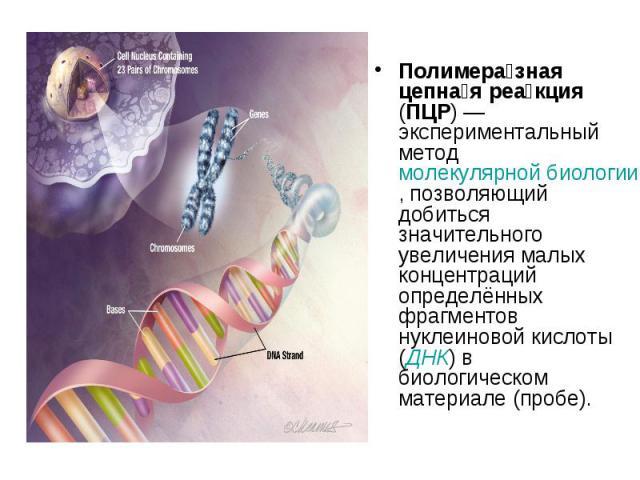 Полимера зная цепна я реа кция (ПЦР)— экспериментальный метод молекулярной биологии, позволяющий добиться значительного увеличения малых концентраций определённых фрагментов нуклеиновой кислоты (ДНК) в биологическом материале (пробе). Полимера…