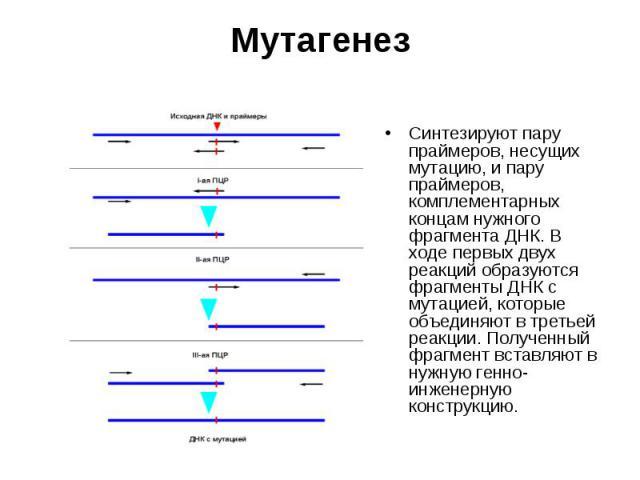 Cинтезируют пару праймеров, несущих мутацию, и пару праймеров, комплементарных концам нужного фрагмента ДНК. В ходе первых двух реакций образуются фрагменты ДНК с мутацией, которые объединяют в третьей реакции. Полученный фрагмент вставляют в нужную…
