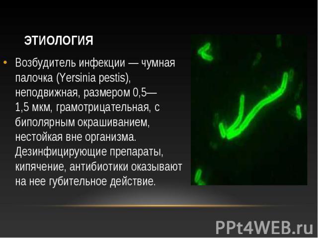 Возбудитель инфекции— чумная палочка (Yersinia pestis), неподвижная, размером 0,5—1,5мкм, грамотрицательная, с биполярным окрашиванием, нестойкая вне организма. Дезинфицирующие препараты, кипячение, антибиотики оказывают на нее губительн…