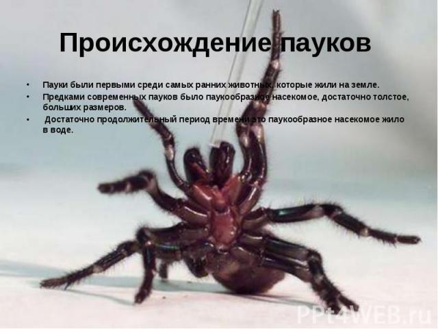Происхождение пауков Пауки были первыми среди самых ранних животных, которые жили на земле. Предками современных пауков было паукообразное насекомое, достаточно толстое, больших размеров. Достаточно продолжительный период времени это паукообразное н…