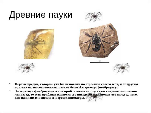 Древние пауки Первые предки, которые уже были похожи по строению своего тела, и по другим признакам, на современных пауков были Аттеркопус фимбриунгус. Аттеркопус фимбриунгус жили приблизительно триста восемьдесят миллионов лет назад, то есть прибли…