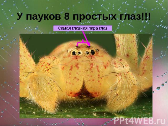 У пауков 8 простых глаз!!!