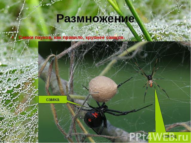 Размножение Самки пауков, как правило, крупнее самцов.