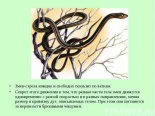 Змея-стрела изящно исвободно скользит поветкам. Змея-стрела изящно и