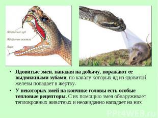 Ядовитые змеи, нападая на добычу, поражают ее выдвижными зубами, по каналу котор