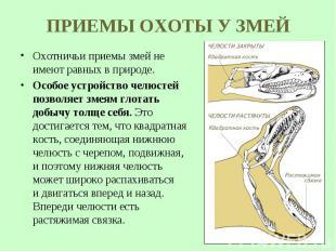 Охотничьи приемы змей не имеют равных в природе. Охотничьи приемы змей не имеют