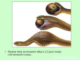 Яичная змея заглатывает яйца в 2,5 раза толще собственной головы. Яичная змея за