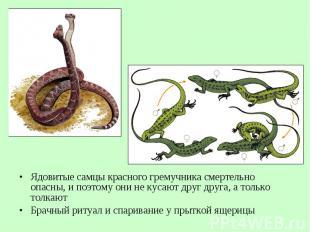 Ядовитые самцы красного гремучника смертельно опасны, и поэтому они не кусают др