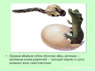 Прорвав яйцевым зубом оболочку яйца, детеныш— маленькая копия родителей&nb