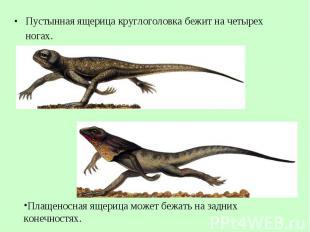 Пустынная ящерица круглоголовка бежит начетырех ногах. Пустынная ящерица к