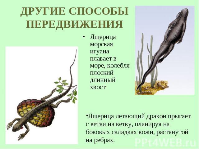 Ящерица морская игуана плавает в море, колебля плоский длинный хвост Ящерица морская игуана плавает в море, колебля плоский длинный хвост