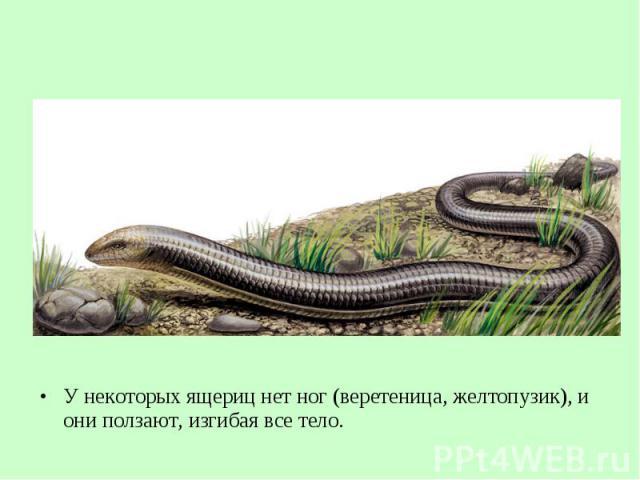 У некоторых ящериц нет ног (веретеница, желтопузик), и они ползают, изгибая все тело. У некоторых ящериц нет ног (веретеница, желтопузик), и они ползают, изгибая все тело.