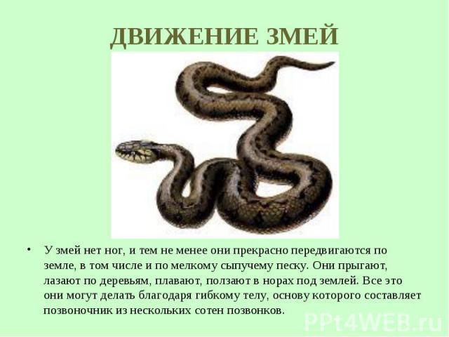 У змей нет ног, и тем не менее они прекрасно передвигаются по земле, в том числе и по мелкому сыпучему песку. Они прыгают, лазают по деревьям, плавают, ползают в норах под землей. Все это они могут делать благодаря гибкому телу, основу которого сост…