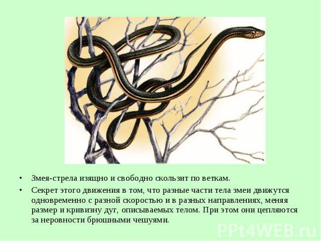 Змея-стрела изящно исвободно скользит поветкам. Змея-стрела изящно исвободно скользит поветкам. Секрет этого движения в том, чторазные части тела змеи движутся одновременно с разной скоростью ивразных направ…