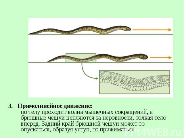 3. Прямолинейное движение: по телу проходит волна мышечных сокращений, а брюшные чешуи цепляются за неровности, толкая тело вперед. Задний край брюшной чешуи может то опускаться, образуя уступ, то прижиматься 3. Прямолинейное движение: по телу прохо…