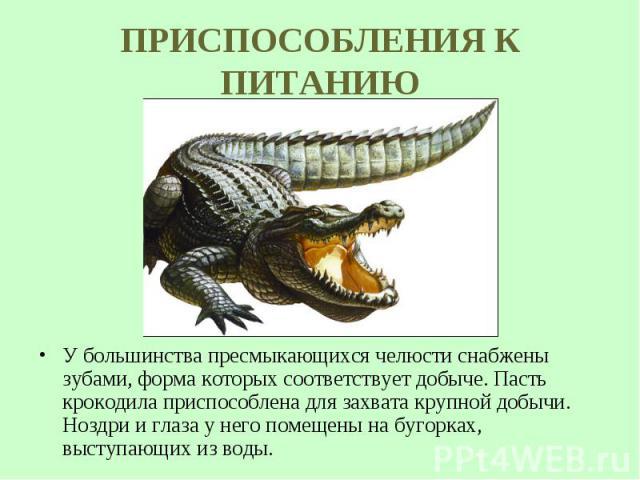 У большинства пресмыкающихся челюсти снабжены зубами, форма которых соответствует добыче. Пасть крокодила приспособлена для захвата крупной добычи. Ноздри и глаза у него помещены на бугорках, выступающих из воды. У большинства пресмыкающихся челюсти…