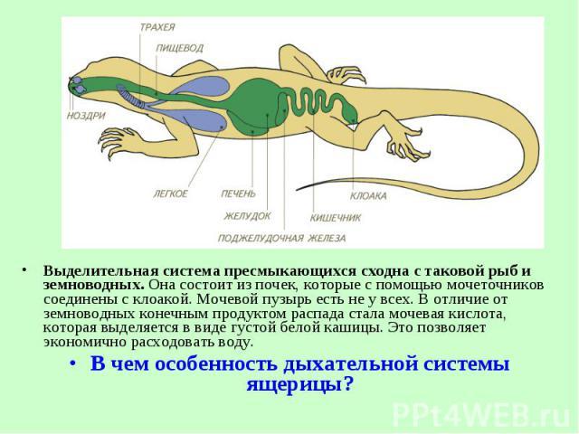 Выделительная система пресмыкающихся сходна с таковой рыб и земноводных. Она состоит из почек, которые спомощью мочеточников соединены с клоакой. Мочевой пузырь есть не у всех. В отличие от земноводных конечным продуктом распада стала мочевая …